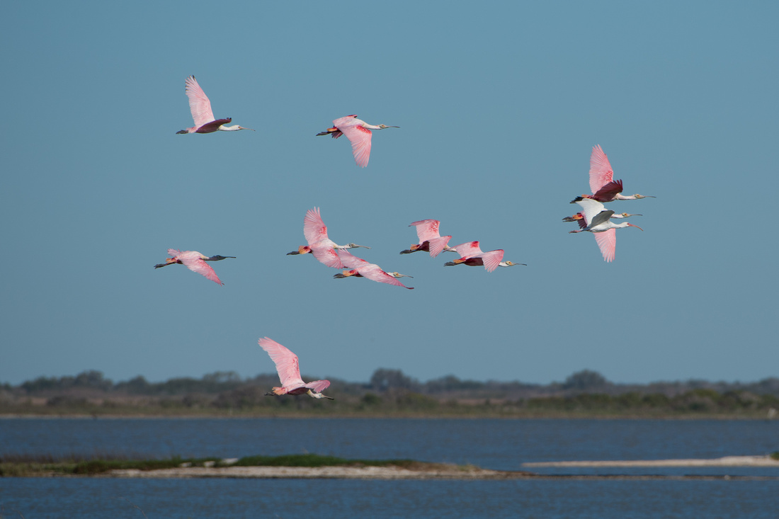 Roseate Spoonbill and White Ibis