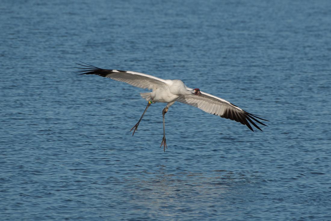 Whooping Crane (male)